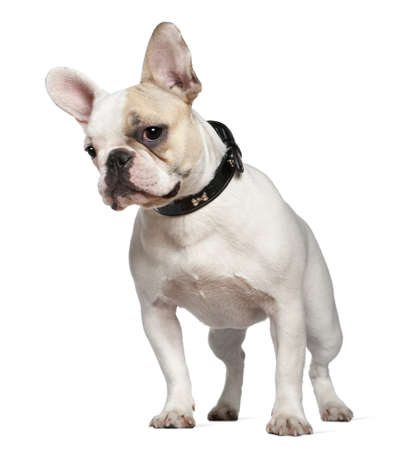 Portrait of French bulldog, 9 months old, in front of white background photo