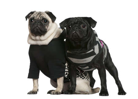 Two pugs, 2 years old and 10 months old, standing together in front of white background photo