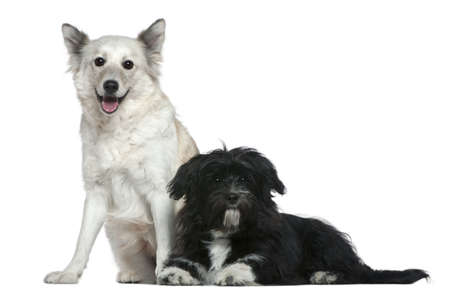 Mixed-breed dog and Shih-Tzu, 9 years old and 6 months old, in front of white background photo
