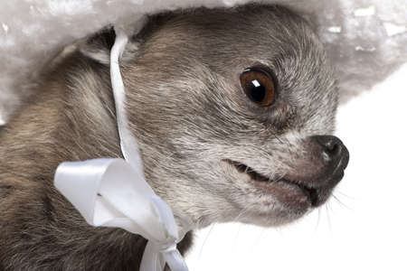 Close-up of dressed Chihuahua wearing a hat, 7 years old photo
