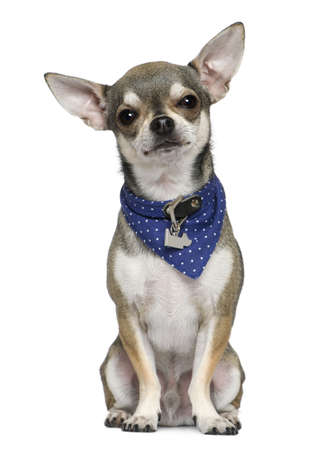 handkerchief: Chihuahua wearing blue handkerchief, 3 years old, sitting in front of white background Stock Photo