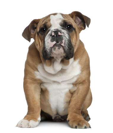 english bulldog puppy: English bulldog puppy, 4 months old, sitting in front of white background