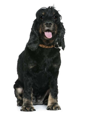 English Cocker spaniel, 4 years old, sitting in front of white background photo