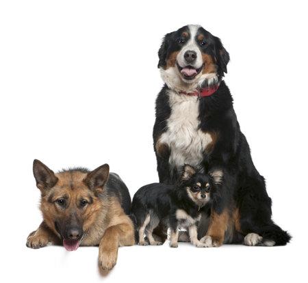 9 months old: Perro de pastor alem�n, perro de monta�a de Bernese y Chihuahua, 14 meses, 4 a�os y 9 meses de edad, delante de fondo blanco