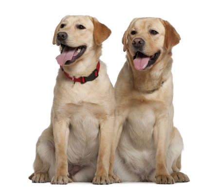 2 years old: Two Labrador Retrievers, 2 years old and 11 months old, sitting in front of white background Stock Photo