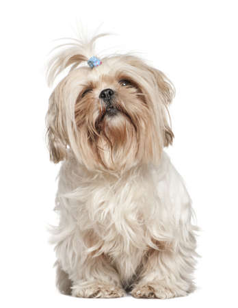 shih: Shih Tzu, 4 years old, in front of white background Stock Photo