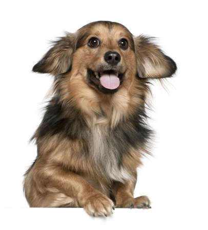 Dachshund, 6 years old, in front of white background photo