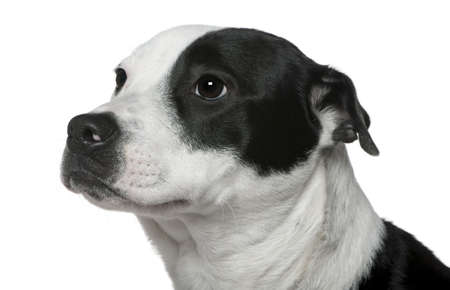 american staffordshire terrier: Close-up of American Staffordshire Terrier mezclado con un Border Collie, 9 meses de edad, en frente de fondo blanco