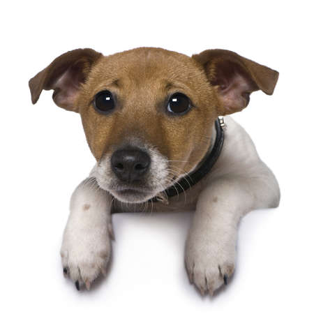 sad dog: Jack Russell Terrier, 3 months old, in front of white background Stock Photo