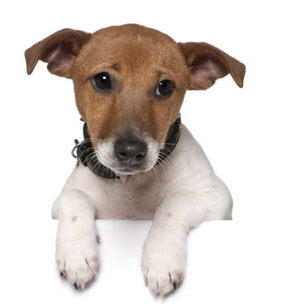 dog paw: Jack Russell Terrier, 3 months old, in front of white background Stock Photo