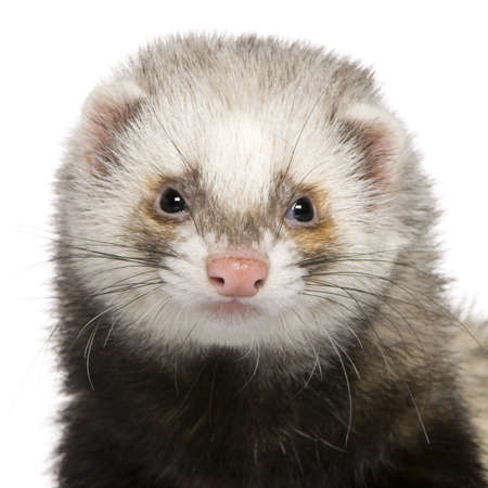 Close-up of Ferret, 1 year old, in front of white background photo