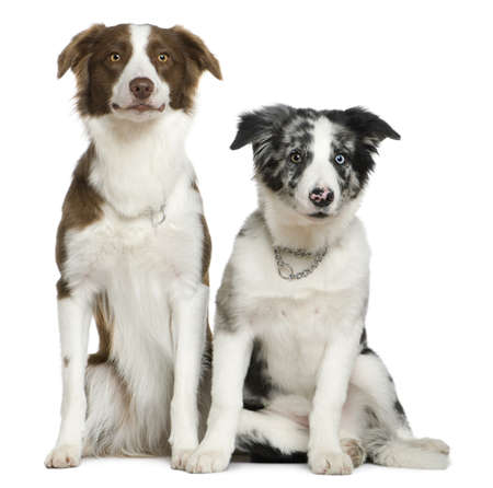 collies: Two Border Collies, 11 months and  4 months old, sitting in front of white background