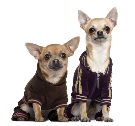 half dressed: Two dressed Chihuahuas in track suits, 1 and a half and 1 years old, sitting in front of white background
