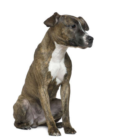 american staffordshire terrier: American Staffordshire Terrier, 9 months old, sitting in front of white background