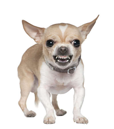chihuahua: Angry Chihuahua growling, 2 years old, in front of white background