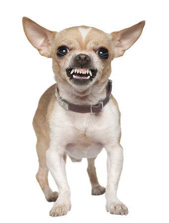 perro furioso: Chihuahua enojado gru�endo, 2 a�os de edad, en frente de fondo blanco  Foto de archivo