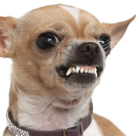 2 years old: Close-up of angry Chihuahua growling, 2 years old, in front of white background Stock Photo