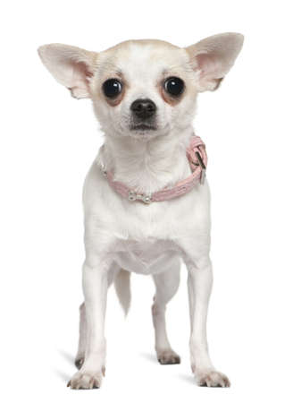 Chihuahua in pink collar, 1 and a half years old, standing in front of white background photo