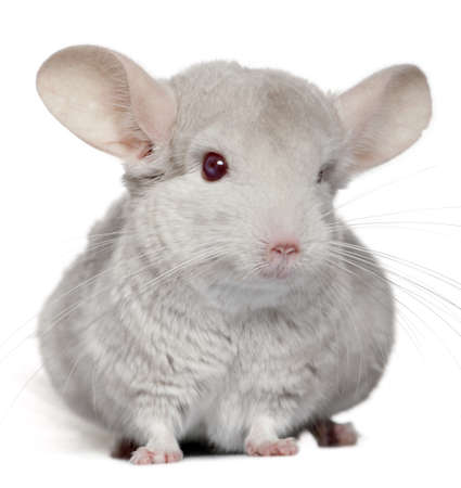 chinchilla: Chinchilla, 5 years old, in front of white background Stock Photo