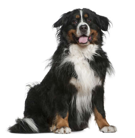 Bernese mountain dog, 5 years old, sitting in front of white background photo