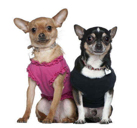 18: Two dressed Chihuahuas, 9 years old and 18 months old, sitting in front of white background