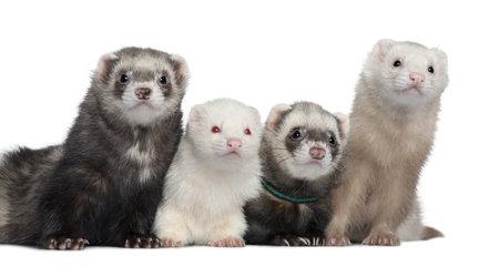 Groep van vier fretten, 5 jaar, 6 jaar, 3 jaar, 1 jaar oud, in de voorkant van de witte achtergrond