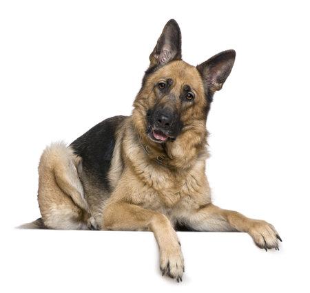 Duitse herders hond, 4 jaar, voor witte achtergrond Stockfoto
