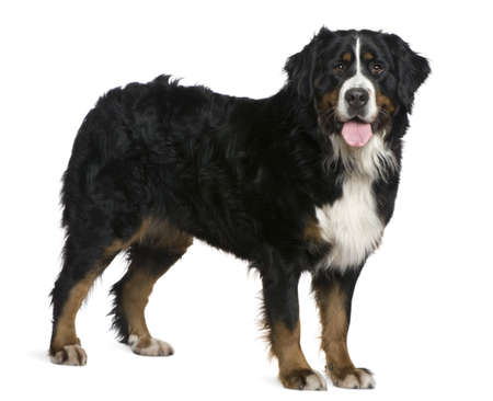Bernese mountain dog, 2 and a half years old, standing in front of white background photo