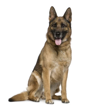 german shepherd: German Shepherd dog, 7 years old, sitting in front of white background Stock Photo