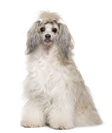 Chinese Crested Dog, 2 years old, sitting in front of white background photo
