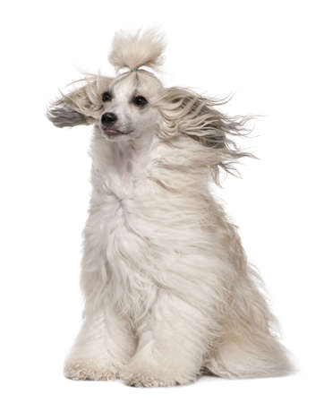 Chinese Crested Dog with hair in the wind, 2 years old, sitting in front of white background photo
