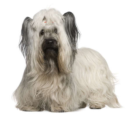 skye: Skye Terrier, 3 and a half years old, in front of white background