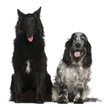 Belgian Shepherd dog, Groenendael, 2 years old, and English Cocker Spaniel, 4 years old, sitting in front of white background photo