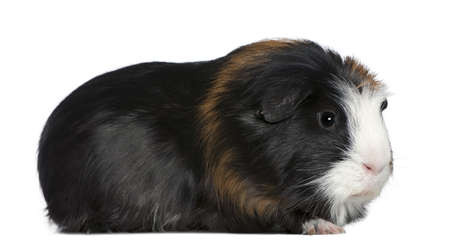 Guinea pig, 1 and a half years old, in front of white background photo