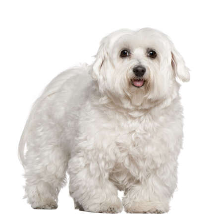 Maltese dog, 5 years old, standing in front of white background photo