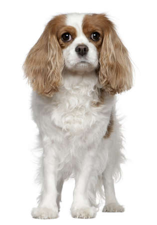 Cavalier King Charles Spaniel, 4 years old, standing in front of white background photo