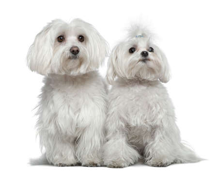 Two Maltese dogs, 6 and a half years old and 2 and a half years old, sitting in front of white background photo