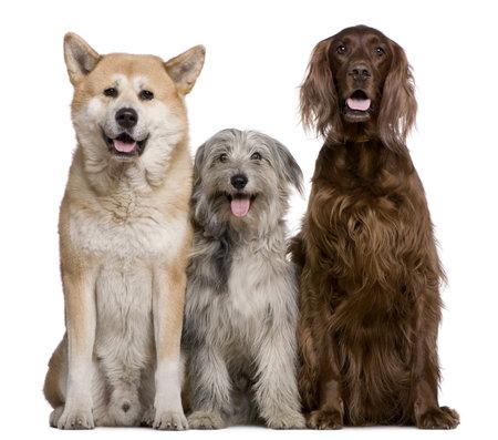 pyrenean: Setter irlandese, Akita Inu e cane da pastore dei Pirenei, 4 anni, 5 anni, e 7 mesi di et�, davanti a sfondo bianco Archivio Fotografico