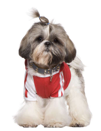 Dressed Shih Tzu, 1 year old, standing in front of white background photo
