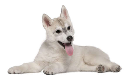 Siberian Husky, 12 weeks old, lying in front of white background photo