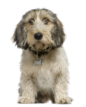 cute dogs: Petit Basset Griffon Vendéen, 7 months old, sitting in front of white background
