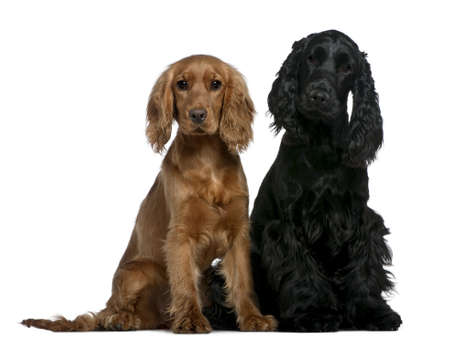 Two English Cocker Spaniels, 10 months and 6 months old, sitting in front of white background photo