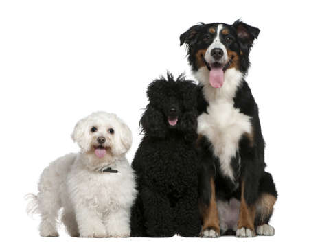 mountain dog: Bichon frise, Poodle and Bernese mountain dog, 13 and a half years old, 10 months and 17 months old, sitting in front of white background Stock Photo