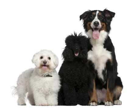 17: Bichon frise, Poodle y perro de monta�a de Bernese, 13 a�os y medio viejo, 10 meses y 17 meses de edad, sentado delante de fondo blanco