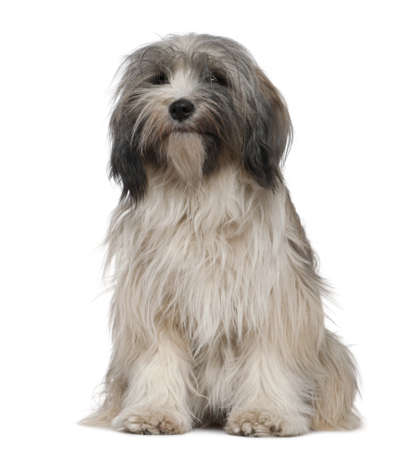 Tibetan Terrier, 1 year old, sitting in front of white background Stock Photo - 7120434