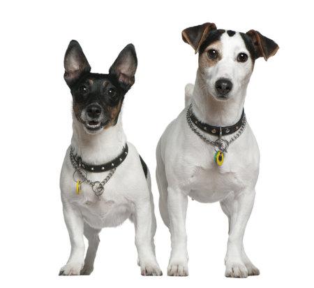 2 to 3 years: Due Jack Russell Terrier, 3 anni e 4 anni di et�, in piedi davanti a sfondo bianco