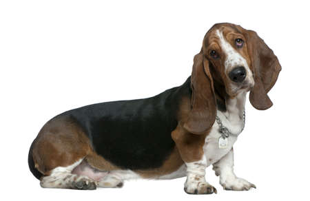 Basset hound, 22 months old, sitting in front of white background photo
