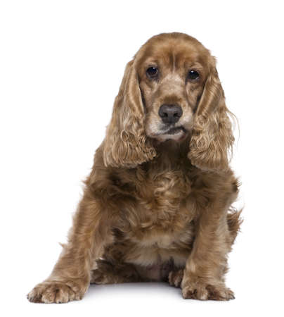 English Cocker Spaniel, 12 years old, sitting in front of white background photo