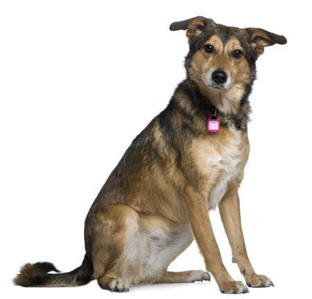 Mixed Shepherd dog, 3 years old, sitting in front of white background