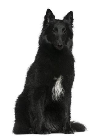 Belgian Shepherd dog, Groenendael, 2 years old, sitting in front of white background photo